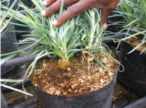 E. A close-up shot of carnation cuttings transplanted into pumice containers irrigated with drip system to be grown outdoors