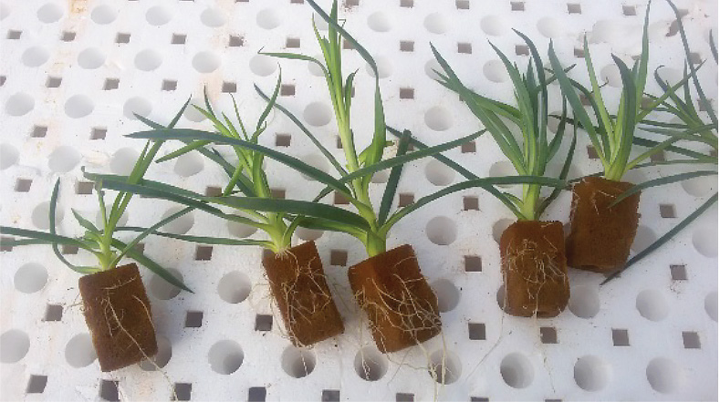 Propagating Carnations In Growing Media