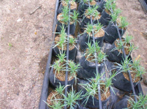 D. Carnation cuttings transplanted into pumice containers irrigated with drip system to be grown outdoors