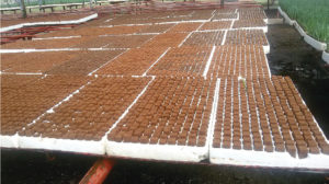 A. Propagation benches setup with Horticubes® Plugs ready for inserting carnation cuttings