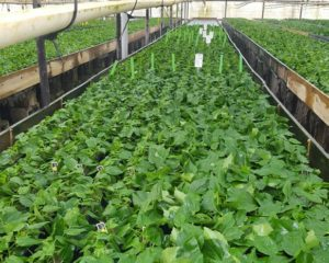 A. Commercial propagation of tropical hibiscus cuttings in Rootcubes® Medium