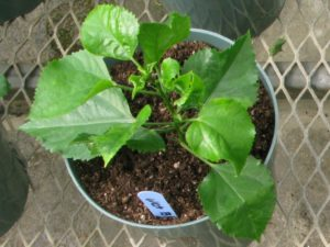 """C: Hibiscus rooted in Rootcubes® Medium right after transplant into 6"""" pot"""