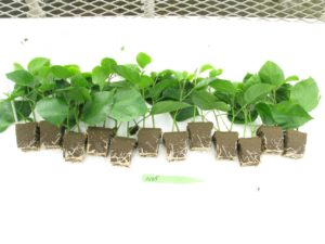 B. Tropical hibiscus cuttings rooted in Rootcubes® Medium